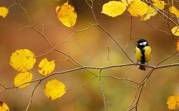 ветка, листва, осень, птица, синица