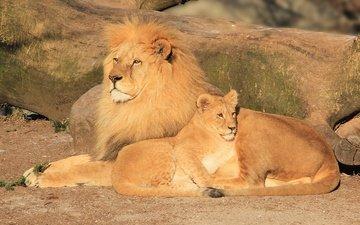 взгляд, хищник, коты, отдых, львы, лев, грива, лежат, отец, львёнок, папа, греются, отцовство