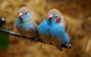 ветка, птицы, парочка, пара, красноухий астрильд, астрильд