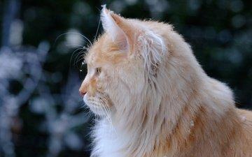 шерсть, кошка, профиль
