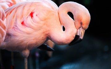 фламинго, сон, птица