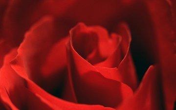 макро, цветок, роза, лепестки, красная, лнпестки