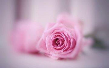 макро, фон, цветок, роза, розовая