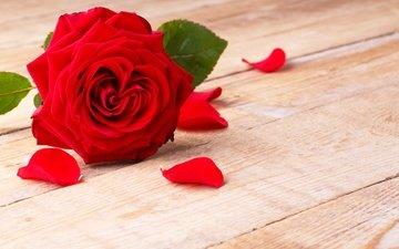 цветок, роза, лепестки, красная