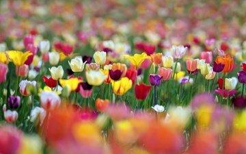 цветы, разноцветные, весна, тюльпаны, боке