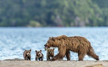рыба, медведи, улов, медведица, медвежата