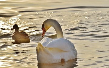 вода, птицы, лебедь, утка