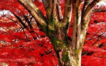 природа, дерево, цветение, листья, ствол, akira, 1212