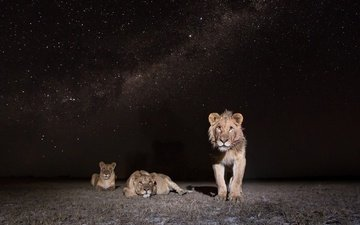 ночь, природа, африка, львы, лев, замбия, african wildlife, lions at night