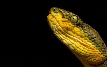 змея, черный фон, рептилия, гадюка, пресмыкающееся, bamboo pit viper, trimeresurus gramineus