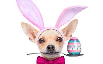 собака, праздники, уши, пасха, песики, бант, ложка, яйцо, чихуахуа, зеленые пасхальные