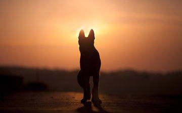 закат, собака, силуэт, anjajuli