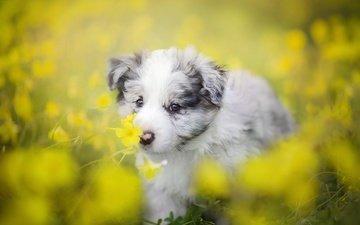 цветы, собака, щенок, боке, бордер-колли