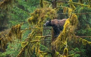 медведь, сша, аляска, барибал, чёрный медведь, tongass national forest