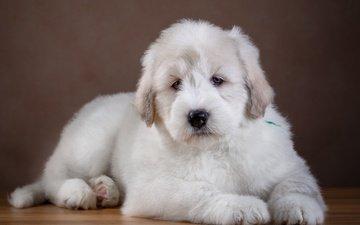 шерсть, белый, собака, щенок