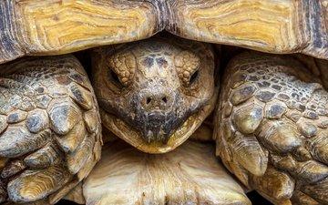 макро, черепаха, панцирь, голова, пресмыкающееся