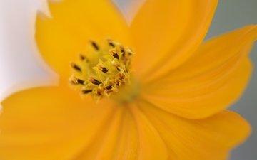 желтый, цветок, лепестки, космея