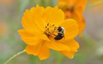 насекомое, цветок, капля, пчела, космея