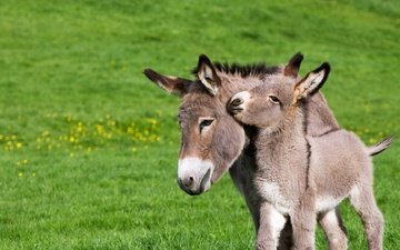 france, donkey, normandy, foal