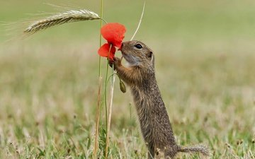 nature, flower, petals, mac, rodent, gopher