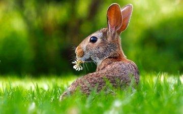 трава, цветок, кролик, уши, заяц