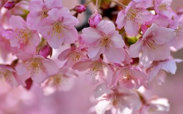 tree, flowering, petals, spring, sakura