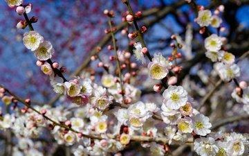 дерево, цветение, весна, слива