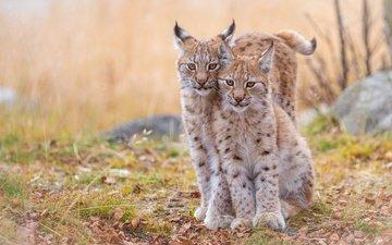 рысь, животные, хищник, дикие кошки, рыси, рысята