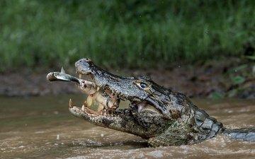 вода, природа, хищник, охота, крокодил, рыба