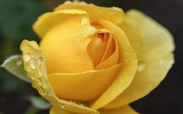 природа, макро, цветок, роса, капли, роза, лепестки, бутон