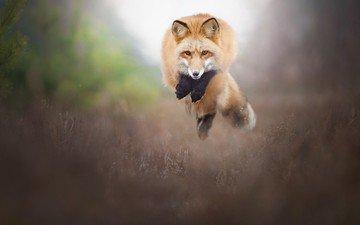 природа, прыжок, лиса, лисица, животное