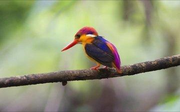 природа, птица, на природе, красива, зимородок, животно е, птаха