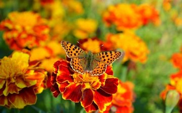 цветы, макро, насекомое, бабочка, цветы