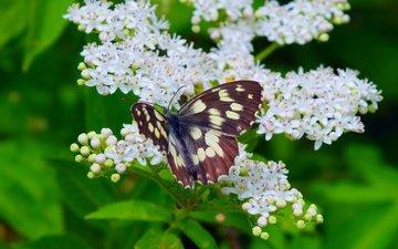 цветение, макро, насекомое, бабочка, весна, весенние