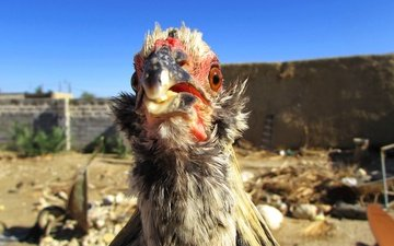 небо, птица, курица, голубое небо, птаха, куриное мясо