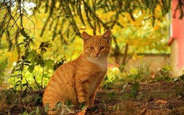 кот, кошка, осень, рыжий, осен