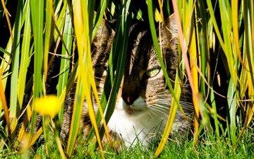 трава, кот, кошка, осень, луг, растение, завод, осен, hidden