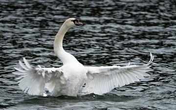 вода, озеро, крылья, птица, лебедь, пасмурно, лейка