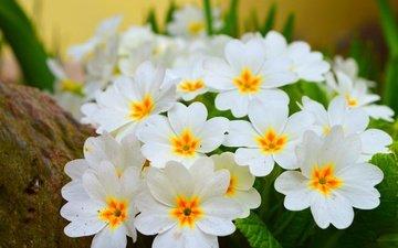 цветы, цветение, весна, белые, примула, весенние