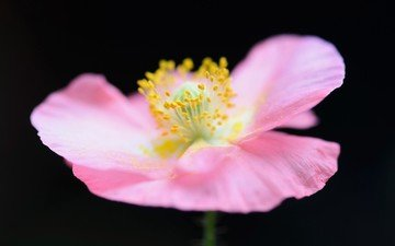 background, flower, petals, mac, pink
