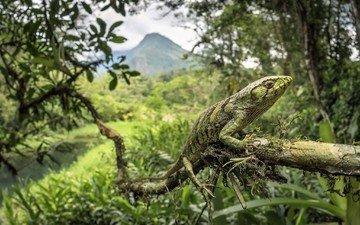 ящерица, рептилия, пресмыкающееся, ящер, polychrus marmoratus