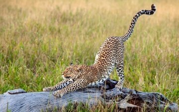 трава, леопард, африка, большая кошка, потягивается