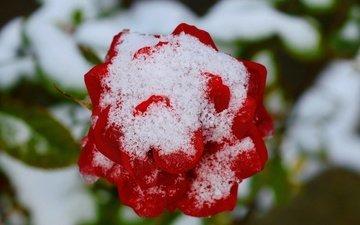 снег, зима, цветок, роза, красная, красная роза