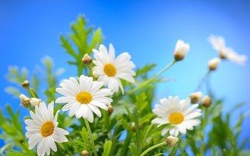 небо, цветы, солнце, весна, ромашки, весенние