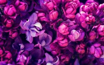 цветение, весна, сирень, сиреневая, цветы, blossom, весенние, лиловая
