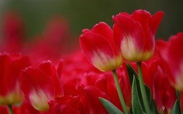 цветы, макро, красные, тюльпаны