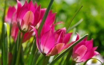 цветы, макро, весна, тюльпаны