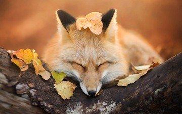 природа, листва, осень, лиса, лисица, iza łysoń