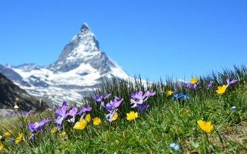 цветы, трава, гора, швейцария, луг, боке, маттерхорн