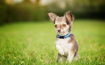 трава, собака, песик, мордашка, лужайка, боке, лапка, чихуахуа, собачонка